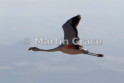 James' (Puna) Flamingo (Phoenicoparrus jamesi) in flight, Sector Soncor of Reserva Nacional los Flamencos, Salar de Atacama, ...