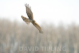 Hen Harrier Circus cyaneus female hunting over plain Hortobagy, Hungary winter
