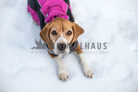 Beagle in snow wearing coat