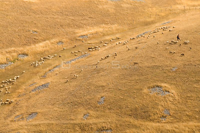 Shepherd with his flock of sheep in summer fields. Gran Sasso National Park, Abruzzo, Italy
