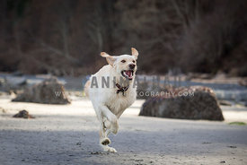 Labrador retriever running on the beach