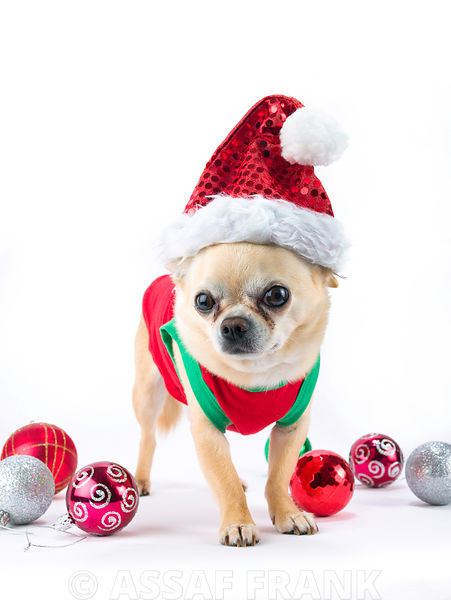 dog with christmas baubles and a hat