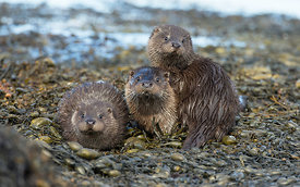 Otter Family, Isle of Mull