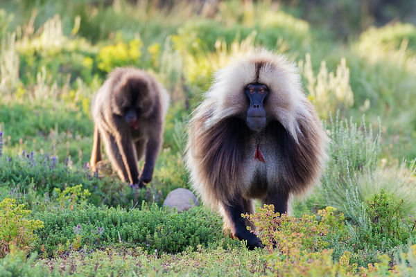Gelada Baboons Walking Towards Camera