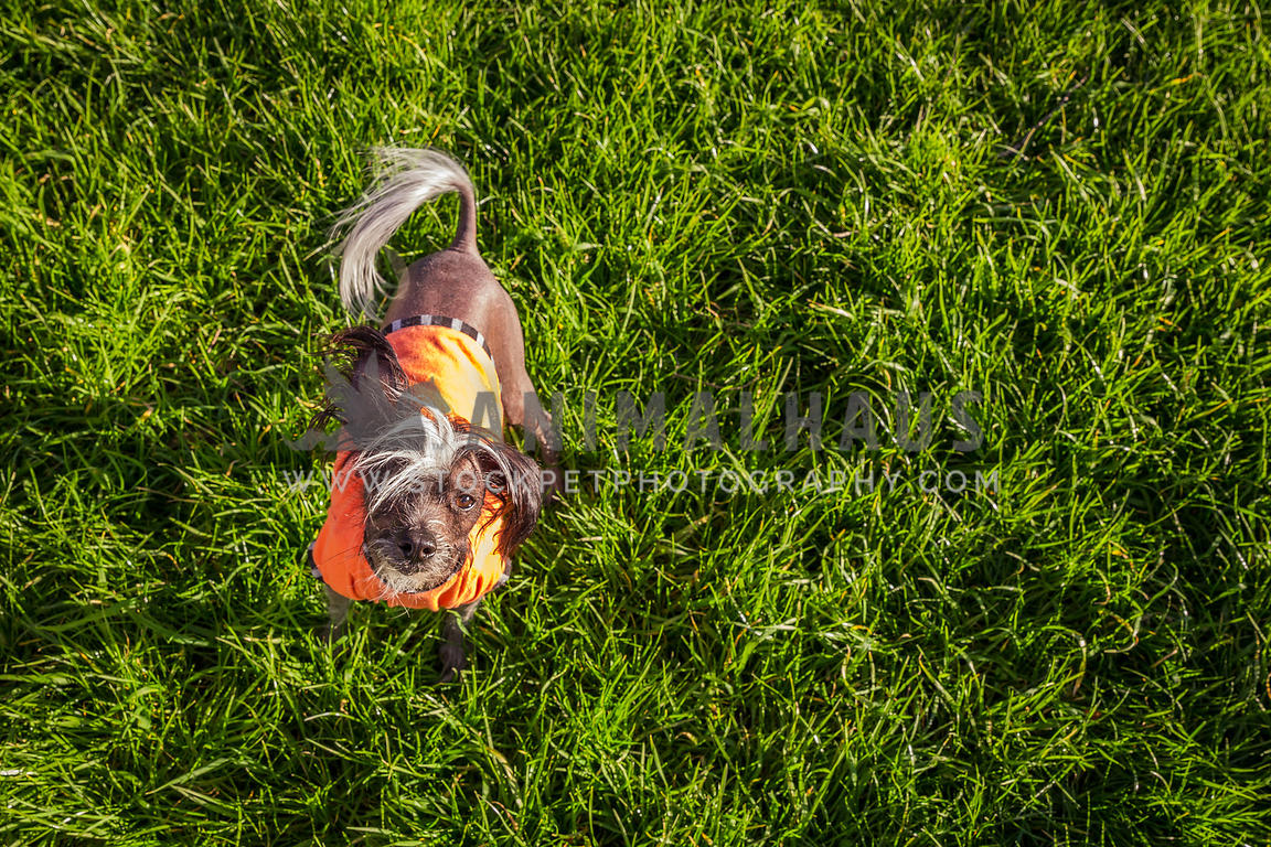 chinese crested hairless dog wearing an orange jumper