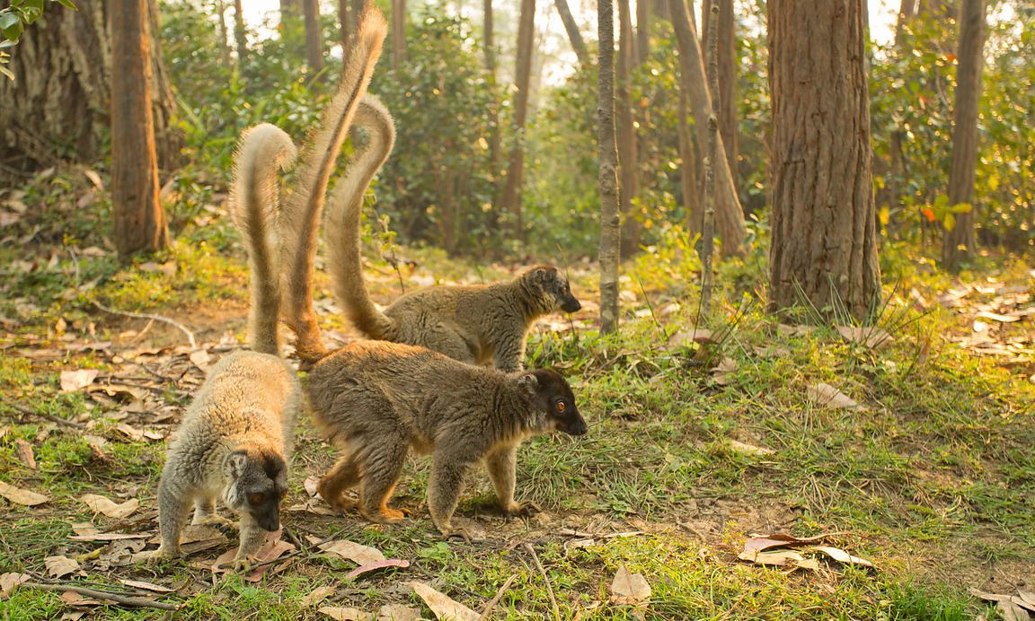Red Fronted Brown Lemurs, Vakona Lodge