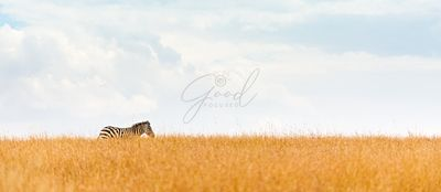 Zebra on Kenya Field Horizon Web Banner