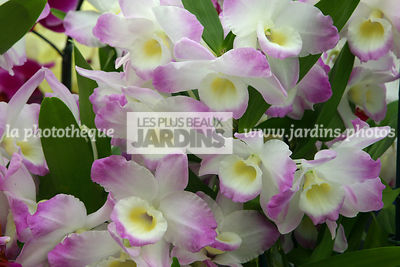 Dendrobium 'Sailor Boy' (Orchidée)