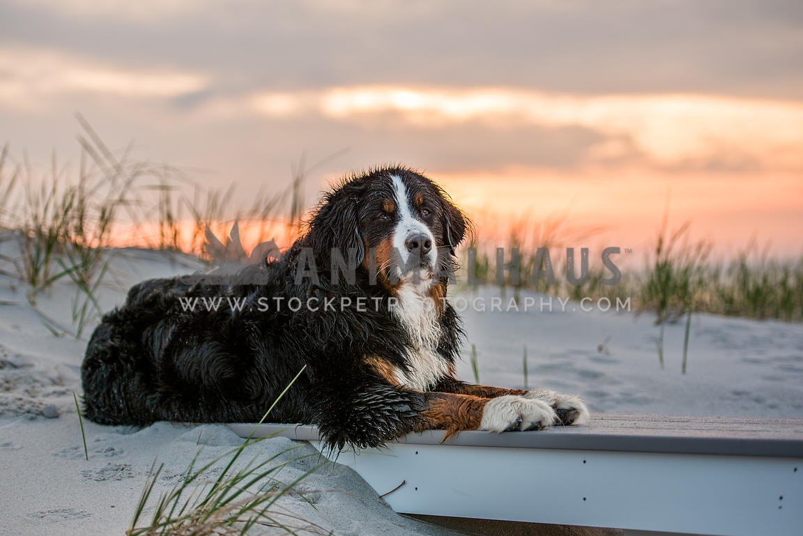 wet bernese mountain dog lying on beach sunset behind
