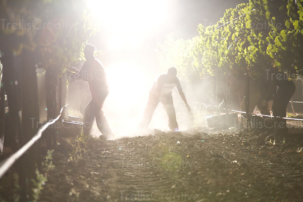 Vineyard workers are silhouetted by tractor lights as they harvest grapes at night