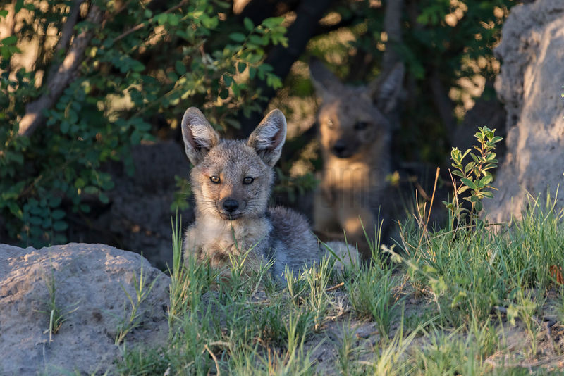 Side-striped Jackal Pups at their Den Site