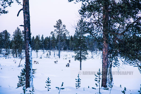 Reindeer on a small frozen lake in Kaamanen, Finnish Lapland, with the pastel colours of the polar night in the background