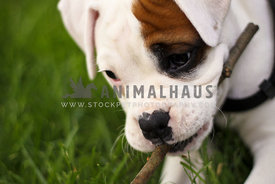 Boxer puppy chewing a stick