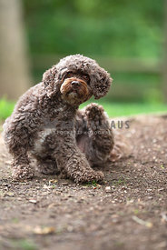 small dark brown cockapoo sitting in the mulch scratching with back leg