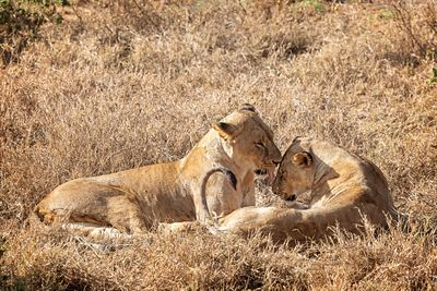 Two Lioness Showing Affection in Africa