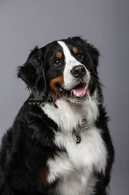 Bernese Mountain Dog posing in studio