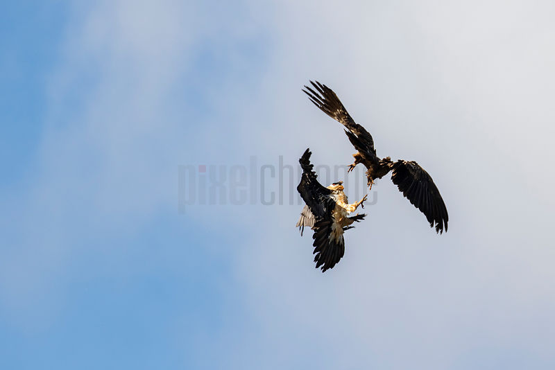 A Pair of Lammergeiers Performing an Aerial mating Display
