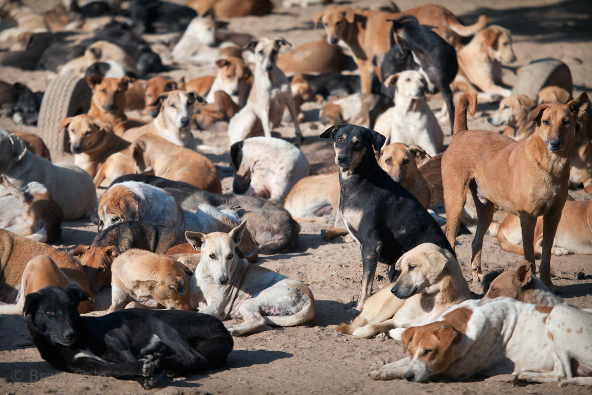 Some of the 900 dogs at the Animals Home rescue center near Jodhpur, Rajasthan, India