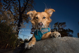 portrait of yellow dog on rock
