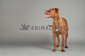 brown am staff pitbull smiling standing facing right on a gray background