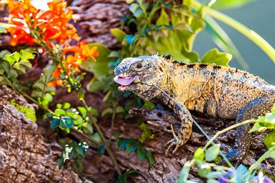 Chuckwalla Eating Flower
