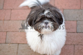 black and white shih tzu with underbite sitting and looking up at the camera