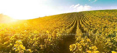 Vineyard Sunrise - Champagne Vineyard-France-Europe