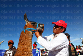 Judge checking the teeth of a llama during competition, Curahuara de Carangas, Bolivia