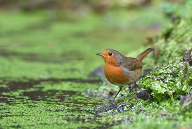 Robin Erithacus rubecula at pool Norfolk August