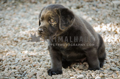 little black labrador puppy sitting in gravel looking left