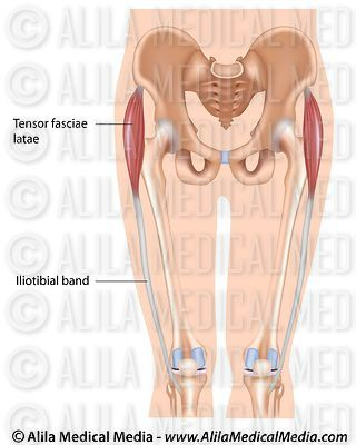 Tensor fasciae latae muscle, labeled.