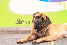 mastiff with head tilt lying down in front of green painted wall