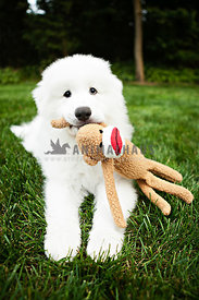 fluffy white great pyrenees puppy playing with monkey stuffed animal in backyard on green grass