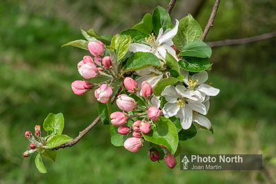 APPLE 03A - Crab apple blossom