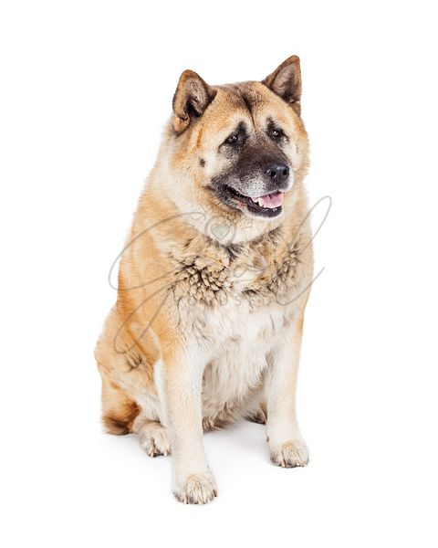 Large Akita Dog Sitting Looking to Side