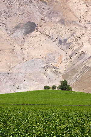 Vineyards contrasting with desert hillside, Copiapó Valley, Region III, Chile