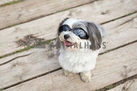 shih tzu dog with sunglasses
