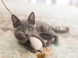gray kitten stopped mid-play