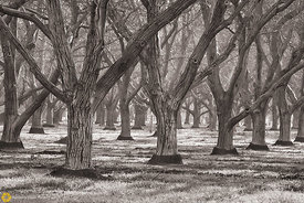 Walnut Orchards #1 -  Black & White