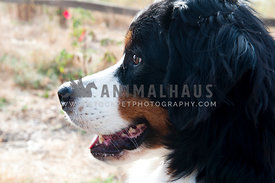 young bernese mountain dog profile looking away from camera relaxed panting