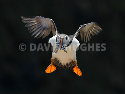 Puffin in flight with sand eels.