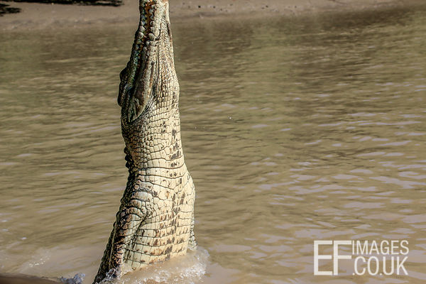 Saltwater Crocodile Jumping