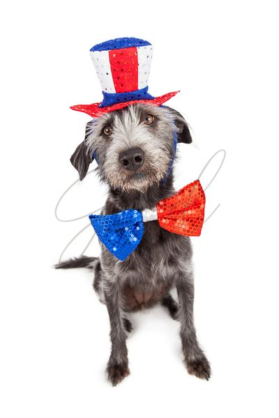 Fourth of July Terrier Dog