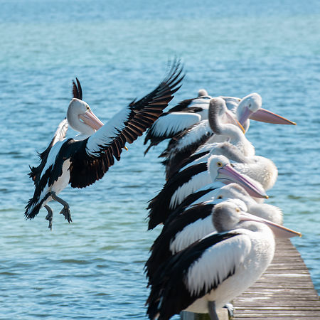 Pelicans on a Jetty