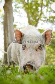 white pig in grass