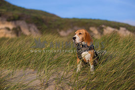 Beagle at beach in sand dunes