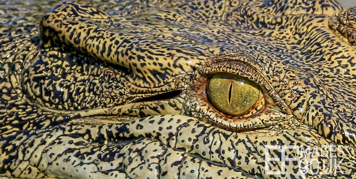 Salt Water Crocodile Eye Close Up