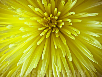 Chrysanthemum flower close-up