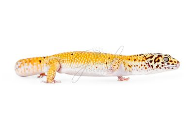 Leopard Gecko Crawling Forward