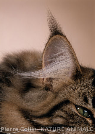 chat-maine-coon-plumet
